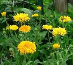 PlantFiles Pictures: Pot Marigold, English Marigold 'Pacific Beauty' (Calendula officinalis) by rebecca101