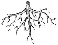 Everything we love about our plants are the result of healthy roots. Flowers, fragrance, foliage, fruit - all are dependent upon a healthy root structure. Tree With Roots Drawing, One Click Root, Root Image, Roots Tattoo, Dibujos Tumblr A Color, Farm Animal Coloring Pages, Dibujos Tattoo, Root Color, Free Clipart Images