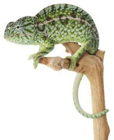 Chameleons chameleons for sale and pets on pinterest