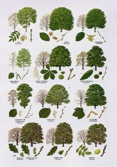 Native Trees - Broad Leaved More Bäume erkennen Garden Trees, Garden Plants, Herb Garden, Garden Gate, Trees And Shrubs, Trees To Plant, Deciduous Trees, Tree Leaf Identification, Baumgarten