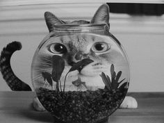 Cat with fishbowl.  From the fish's perspective.