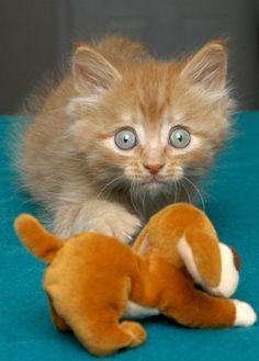 """catsbeaversandducks: """"Espera ... Esto no es un perro de verdad?  ¿Está seguro? """"Foto por Kitten Buenos Días"""