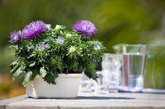 Callistephus - WPK Vegetable Plants