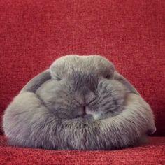 📷 from @amandabunbuns 😍😍😍😍😍 Also check out my pet account @happycatclub & @catloversclub . . . . #bunny #bunnies #rabbit #rabbits #bunnylove #rabbitsofinstagram #bunniesofinstagram #bunniesofig #rabbitstagram #pet #pets #pets_loversclub #bunniesworldwide #houserabbit #bunnyrabbit #bunnygram #bunnystagram #bunnyoftheday #bunnylife #rabbitlover #bunnyears #babybunny #cutebunny #minilop #animal #animals