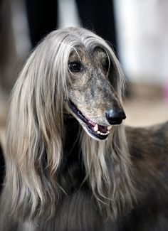 Afghan Hound…although not for everyone, they are very much underrated as a companion. And they are not dumb!!!
