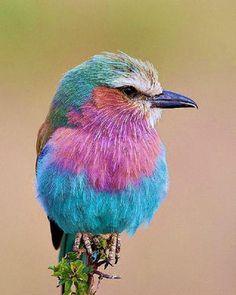 ペットとして飼いたいな♪って思ったら意外とでかい鳥だった「ライラックニシブッポウソウ」鮮やかな羽はまるで画家モネの絵画から飛び出してきたみたい?もっちりしててか...