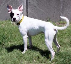 7 / 29    ***PUPPY ALERT*** Petango.com – Meet Raider, a 8 months 5 days Terrier, American Pit Bull / Mix available for adoption in WICHITA, KS Address  3313 N Hillside, WICHITA, KS, 67219  Phone  (316) 524-9196  Website  http://www.kshumane.org  Email  mgray@kshumane.org