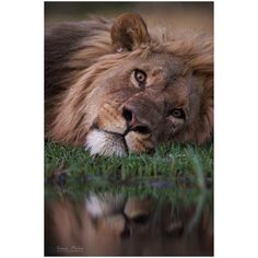 """Shaun Malan Photography (@shaun_malan_photography) on Instagram: """"Resting after a long drink... #wildlife #reflection #lion #Africa #nature """""""