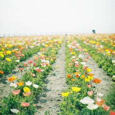 These are the flower of the State of California.  We love them out here!  290 by kajico**, via Flickr