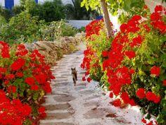 憧れの地ギリシャへε ミコノスタウンの花と猫<ミコノス島Ⅱ>:mykonosさんの旅行ブログ by 旅行のクチコミサイト フォートラベル