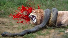 Gorilla vs Anaconda Fight | Giant Anaconda Attacks Gorilla ...