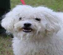 Hund Zur Adoption Max Ein Bichon Frise Mix In Columbia Sc Mit Bildern Hunde Adoption Kleine Hunde