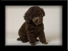 """chocolate brown teacup poodle...I'd name him Bisous (French for """"kiss""""--get it?!)"""