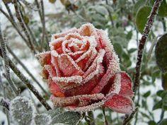 Rosa congelada.