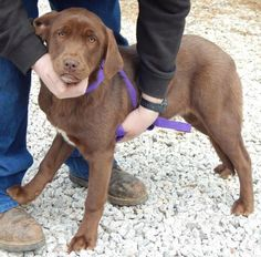Hi! I'm Acadia! I'm approx. 7 months old #labradorretriever #puppy and 45-50 pounds(2/14). Did you notice my beautiful green eyes? I'm super sweet, friendly, loving and playful. I've never met a stranger. I'm great with kids and other dogs. I've never been around cats. I love to explore and play in the yard. I hope to get a home with lots of outdoor space so I can stretch my long legs and put my ears in the wind. http://www.doggielife.com/RXVZ4W