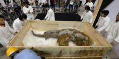 A 39,000-year-old woolly mammoth has gone on display at a Japanese museum. The animal was discovered in Siberia and is possibly the best-preserved one ever found.