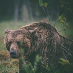 Grizzly Bear Sensing Something. Wild Creatures, Woodland Creatures, Beautiful Creatures, Animals Beautiful, Zoo Animals, Cute Animals, Wild Animals, Site Art, Love Bear