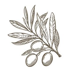 Find Vector Sketch Olive Tree Branch stock images in HD and millions of other royalty-free stock photos, illustrations and vectors in the Shutterstock collection. Branch Drawing, Leaf Drawing, Hamsa, Coffee Tattoos, Pine Tree Tattoo, Tree Sketches, Tree Illustration, Illustrations, Tree Silhouette