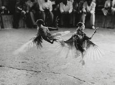 Photographe anonyme Combat de coqs, ca. 1960 Tirage argentique d'époque.