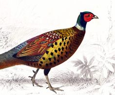 AUTHENTIC 1861 colored lithograph, Common Pheasant partly hand colored.   Engraving taken from the Dictionnaire Universel d'Histoire Naturelle, a publication directed by th... #chromolithograph