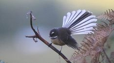 12. The New Zealand Fantail Unlike most of the other birds on this list, the New Zealand Fantail is not a very colorful animal, but it is hard to remain indifferent to its small body structure (16 cm), half of which is its tail and tail feathers. Accordin Colorful Animals, Colorful Birds, Animals And Pets, Cute Animals, New Zealand Tattoo, Fairy Tattoo Designs, Nz Art, Maori Art, Tattoo Maori