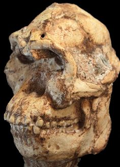 New Age for the Human Ancestor Little Foot (3.67 million years old) Puts Him Closer to Lucy - NYTimes.com (2015)