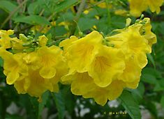 Esperanza =sunrise jubilee=compact variety, yellow orange, better than yellowbells