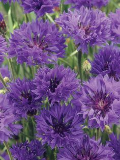 Cornflower Fun Centaurea cyanus, cornflower or Bachelors button, is a small annual flowering plant. It is a lovely ornamental plant in its natural habitat of meadows and grasslands, flowering from June until August.