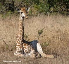 Isn't this baby Giraffe just cute? This was spotted in a Game Reserve in South Africa