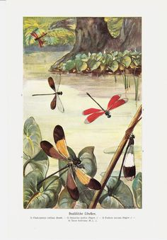 1910 Antique DRAGONFLY print, delicate dragonflies in the lake, naturalist art print. $16.50, via Etsy.