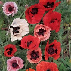Edible Flowers, All Flowers, Pretty Flowers, Papaver Orientale, June Flower, Sutton Seeds, Most Popular Flowers, Pink And White Flowers, Flower Seeds
