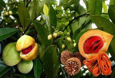 Aprenda a plantar a noz-moscada, árvore de origem indiana que dá um fruto muito utilizado como tempero. Nome Técnico:Myristica fragrans Houtt Nomes Populares :Noz moscada Família :Angiospermae – Família Myristicaceae Origem:Índia[...
