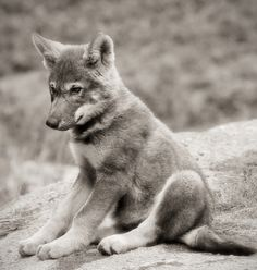 oh my goodness, a baby wolf, be my friend?
