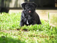 Pug preto filhotes www.canilgoldencuritiba.com