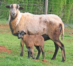 I used to have Barbados sheep!  Loved them, they shed and don't have to be sheared!