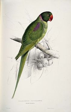 Edward Lear, Hooded parrakeet,  Print from Natural History of Parrots, by Prideaux John Selby, Edinburgh, 1836.