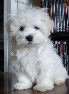 Teacup Maltipoo Maltese / Poodle Mix Hybrid Designer Dog #Maltese