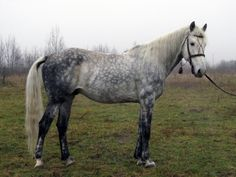 Horses for sale - Orlov Trotter Horse Russia Just horse For sale Frant