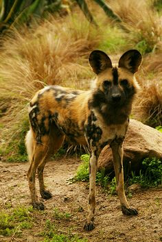 African Wild Dog by MickiP65, via Flickr