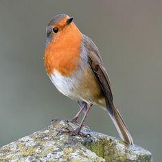 Paul Crabtree sur Instagram: Today's bird photograph is the Robin #Brampton #Cumbria #igerscumbria #nutsaboutbirds #photooftheday #nuts_about_birds #yourbestbirds…