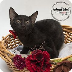 ADOPTED - JOHN - located at Miami County Animal Shelter in Troy, Ohio - 10 WEEK OLD Male Domestic Shorthair
