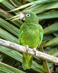 Parrot~The Puerto Rican Amazon (Amazona vittata), also known as the Puerto Rican Parrot or Iguaca, is the only bird endemic to the archipelago of Puerto Rico belonging to the Neotropical genus Amazona.