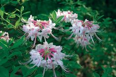 Sunless Success: 15 Great, Easy-to-Grow Shrubs for Shade Shade Shrubs, Shade Garden Plants, Garden Shrubs, Flowering Shrubs, Georgia Gardening, Flower Garden Plans, Garden Ideas, Kalmia Latifolia, Shade Tolerant Plants