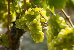 Learn about Sauvignon Blanc