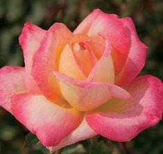 Love and Peace™ | Star® Roses and Plants. I love Hybrid Teas!