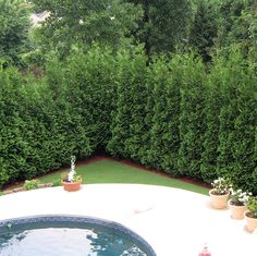 American Pillar Thuja Evergreen Tree. For along the back fence as a privacy screen.