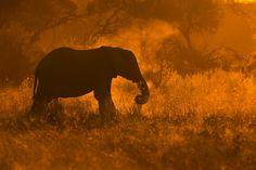 Golden Elephant in Savute - Mario Moreno