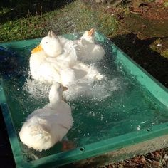 写真: プールのお水を替えました。みんなドボドボしながらお水を吹っ飛ばしてます。( ´∀`)