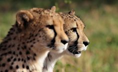 This 2 days #Safari takes you to #Okonjima lodge. Where you can experience the #wild life of #Animals such as #cheetahs and #Leopards.  Details Itinerary: DAY 1: OKONJIMA PLAINS CAMP, OKONJIMA NATURE RESERVE DAY 2: CLIENT DEPART BACK TO WINDHOEK AFTER ACTIVITIES Cheetahs, Leopards, Nature Reserve, Wild Life, Safari, Tourism, Camping, Activities, Day