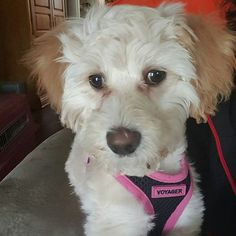Thank you Debra for sharing with The Poodle Patch Community...